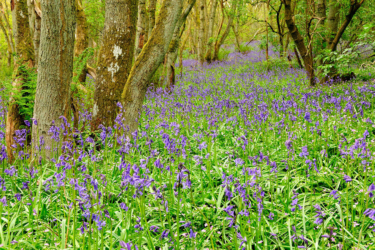 A large expanse of purple bluebells growing on a slope in a woodland with trees and ferns