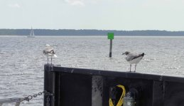 Seagulls riding the ferry across the Neuse River Inlet.