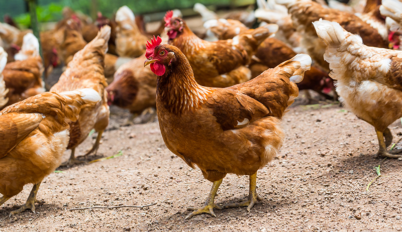 The Organic Poultry Cooperative
