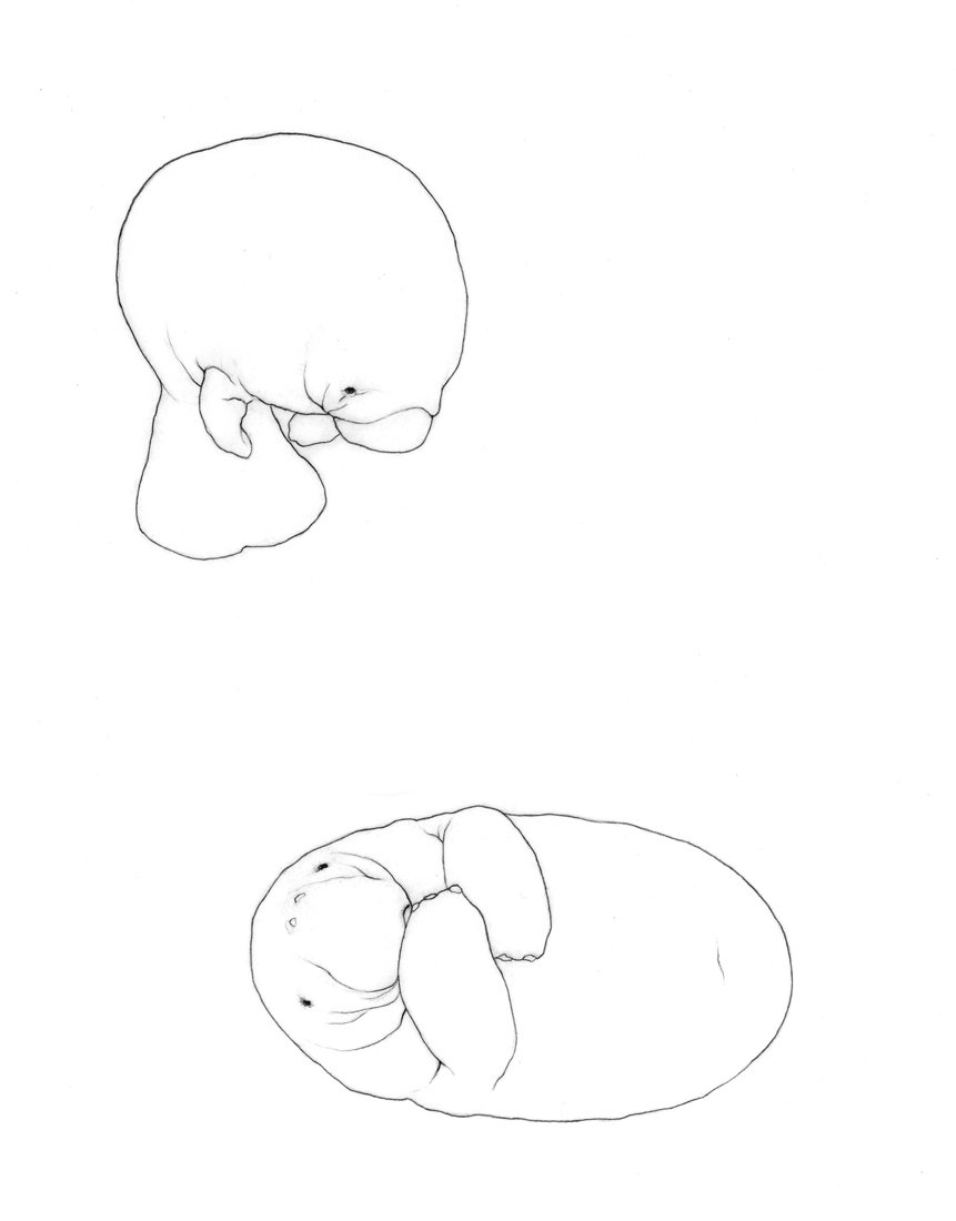 Manatee line drawing