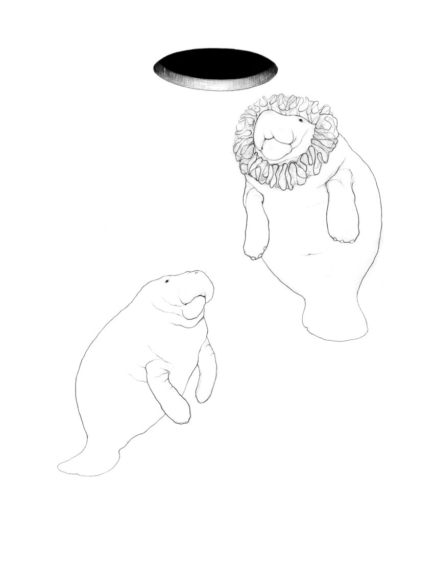 Two Manatees drawing - Fine Art by Karina Kalvaitis