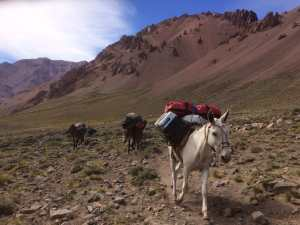 Mules on Aconcagua via the 360 route