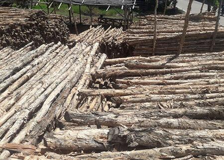 kayu dolken gelam