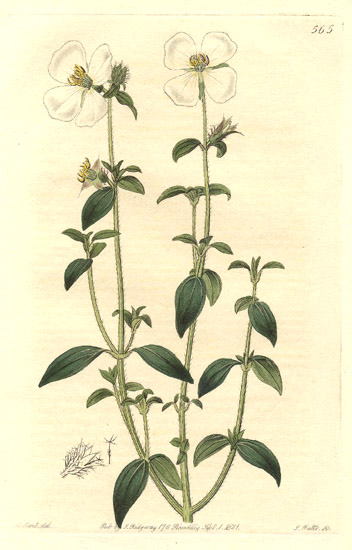 18443melastomataceae-osbeckia-parvifolia