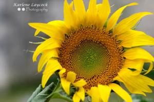 Single Sunflower Head Shot 1