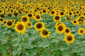 Multiple Sunflowers in a Field Facing Forward 1