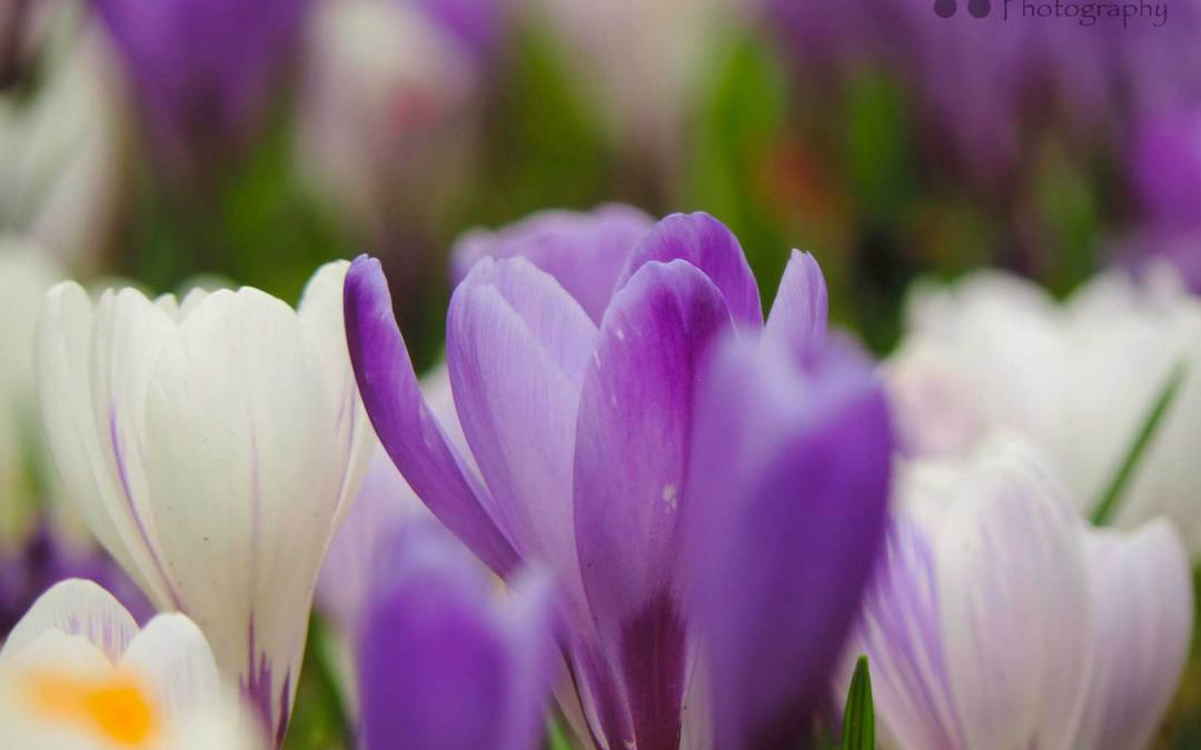 Photograph of Purple and White Crocuses – Gatley in Bloom