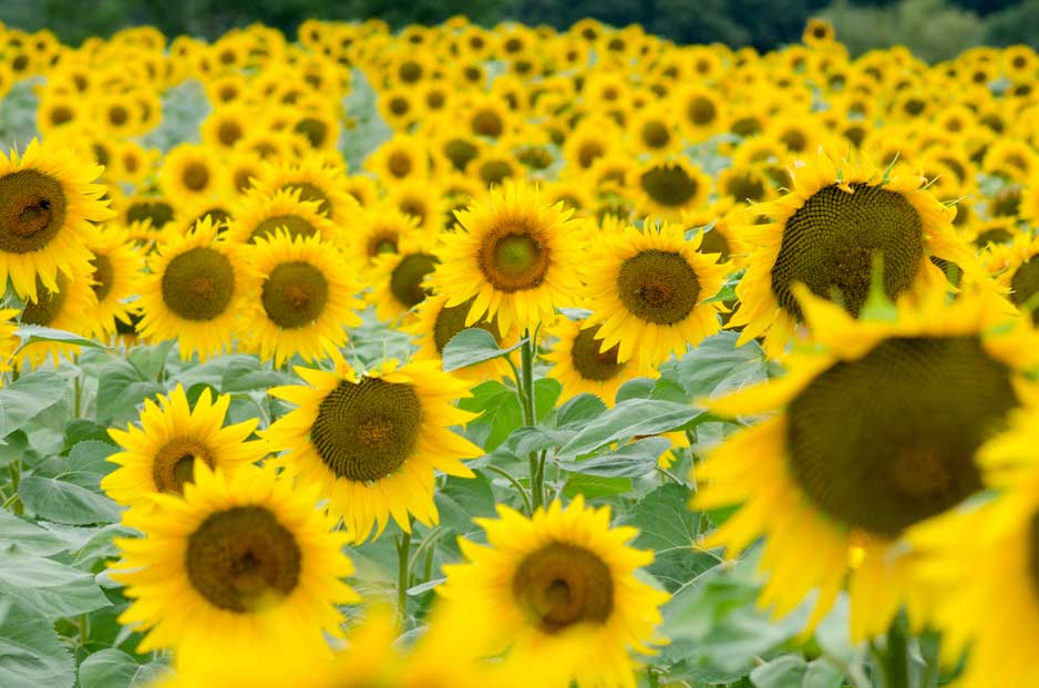 Photograph of a Field of Sunflowers taken in Eymet, France