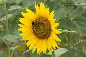 Bee Resting on a Single Sunflower in a Field