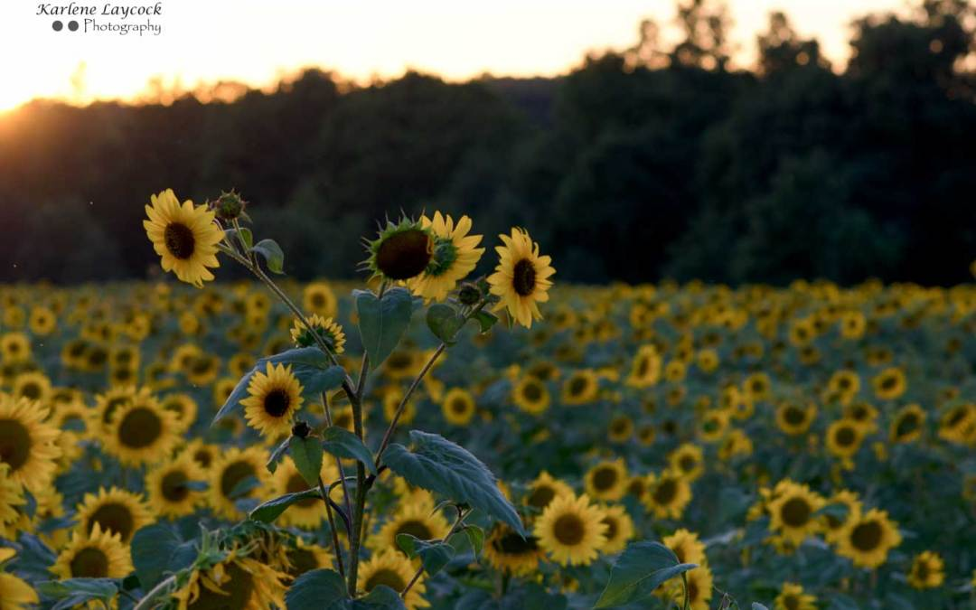 Photograph of a Field of Sunflowers at Sunset in Eymet, France