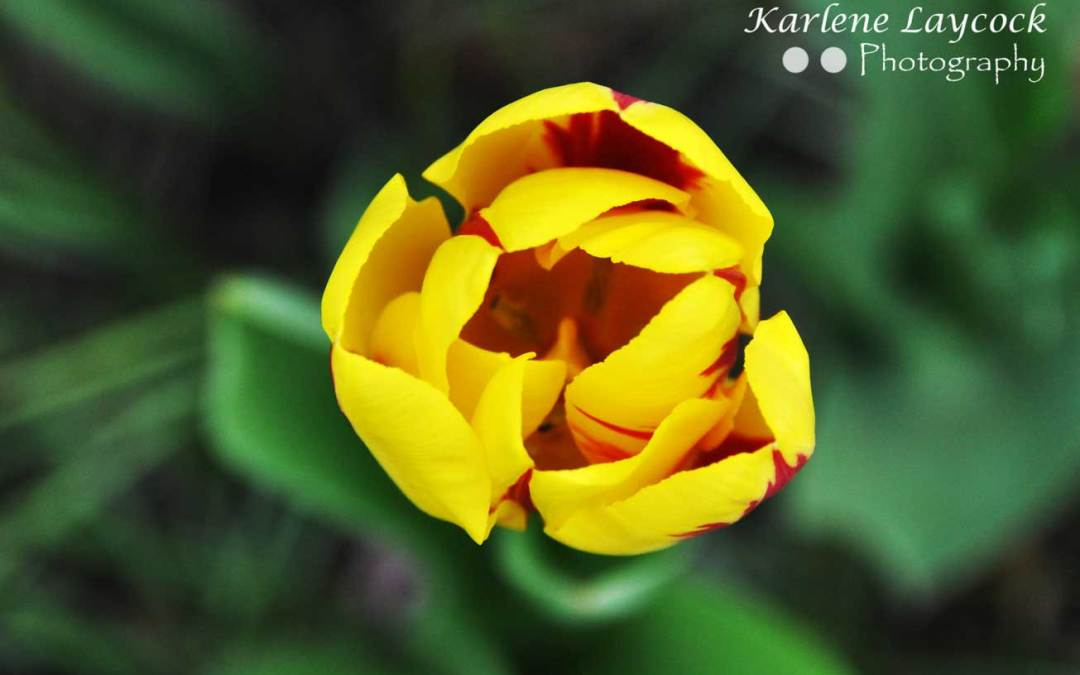 Photograph of Yellow and Red Tulip against a Green Background