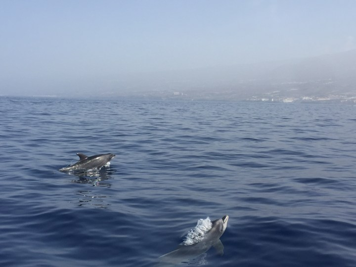 Travel Tips Tenerife - Whale and Dolphin watching