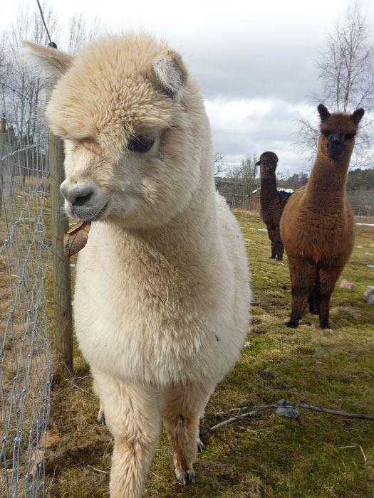 Vit fluffig alpacka tittar på något intressant framför sig