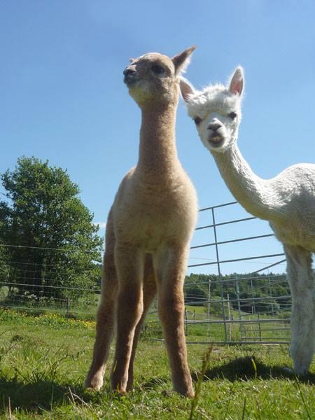 Två alpackaföl titta ner mot kameran där kanske några sitter och fikar