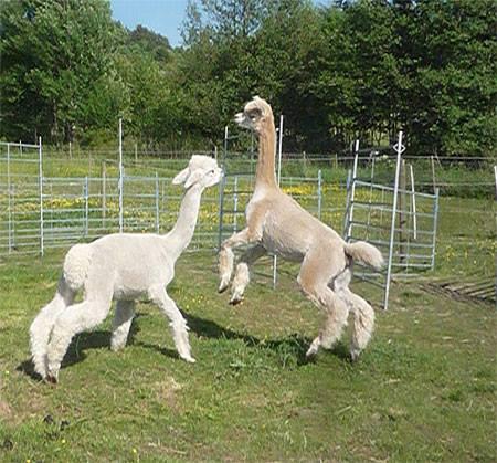 Två unga alpacka som är kompisar busar med varandra
