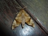 Cool Thai moth.
