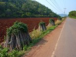 Heading out of Khao Yai on my bike... I made up a scenic route to keep off the big highways. Lots of harvested cassava along the road... these are the stalks, the starchy roots were already cut off.