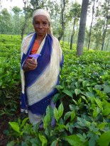 This woman literally popped up from a tea hedge, holding this flower..... I was startled but she was really pretty in all the green tea. The tea shouldn't have a chance to flower if all the green leaf is being picked.... so it was neat to see what tea flowers actually look like.