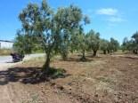 Olive trees, I think...