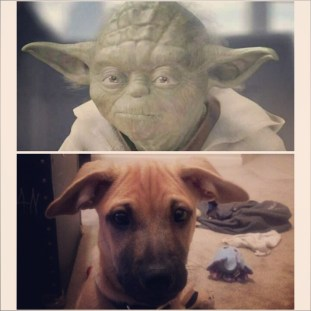 normal ears I have not...he totally looks like Yoda!