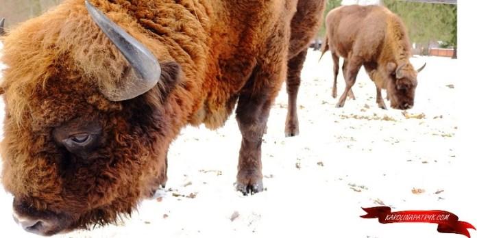 polish bisons