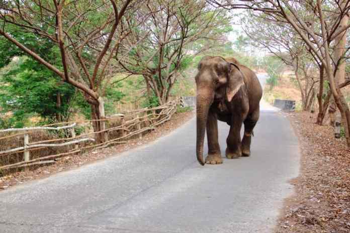 Elephant in Pai
