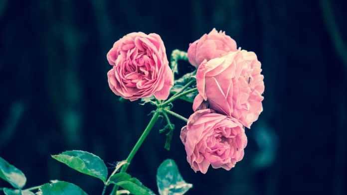 Rosalada de Cervantes