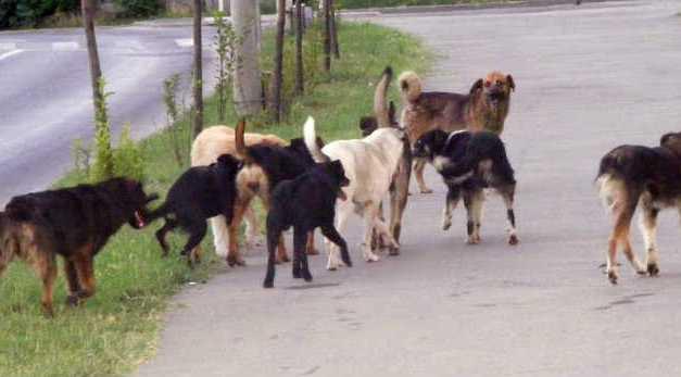 Kóbor kutyákat mérgeznek Ungváron