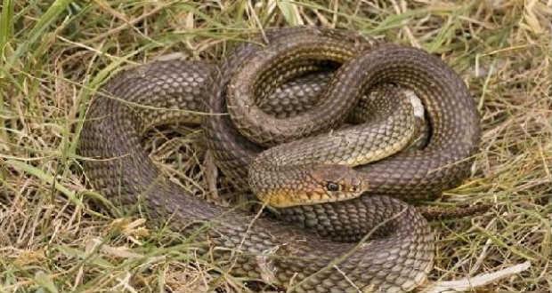 Újra elszaporodtak a kígyók megyénkben