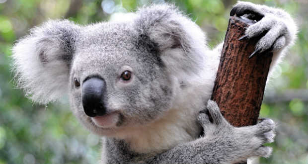 Kihalás fenyegeti a koalákat