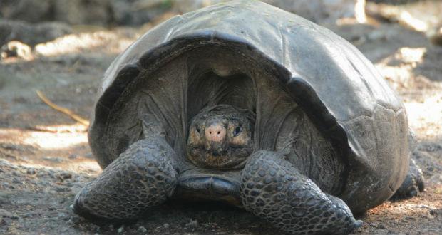 Több mint százötven fiatal óriásteknőst engedtek szabadon a Galápagos-szigeteken