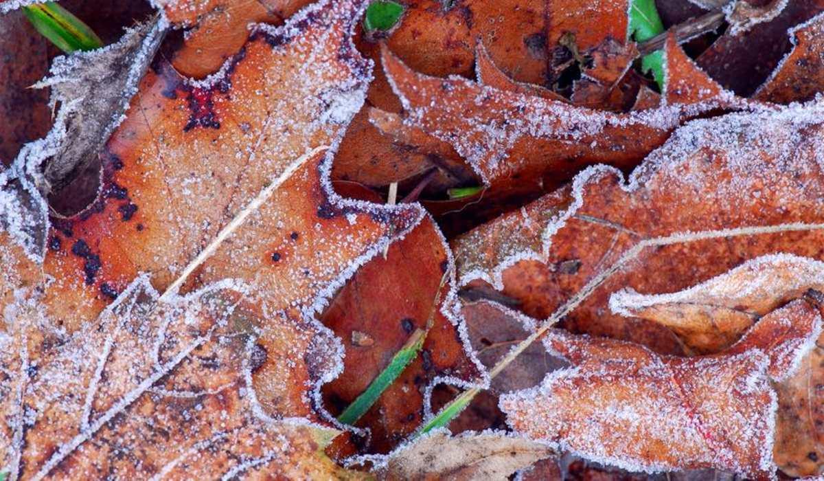 fagy talajmenti levelek