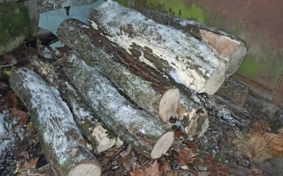 Fát loptak az Ungvári Nemzeti Egyetem botanikus kertjéből