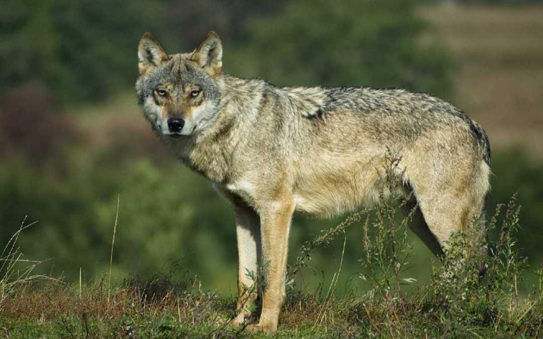 Mit kell tenni, ha farkassal találkozunk?