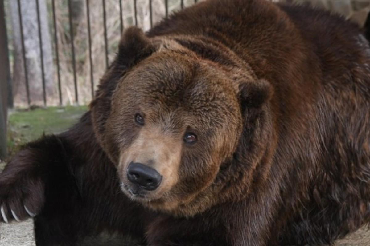 Jurij medve