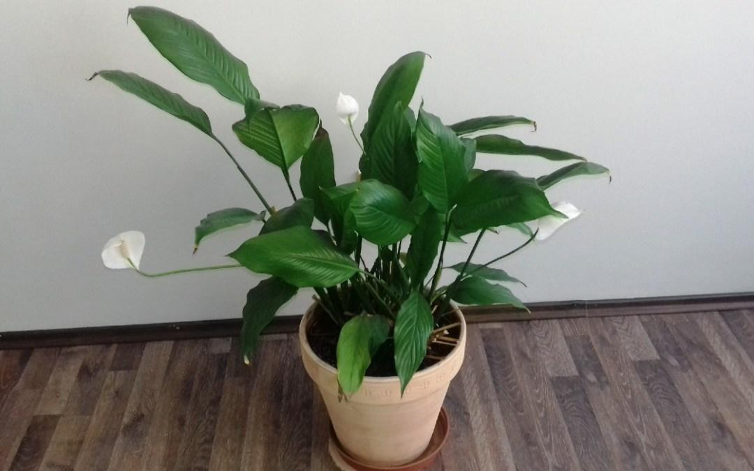 Növények a lakásban: a vitorlavirág