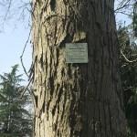 Champion tree