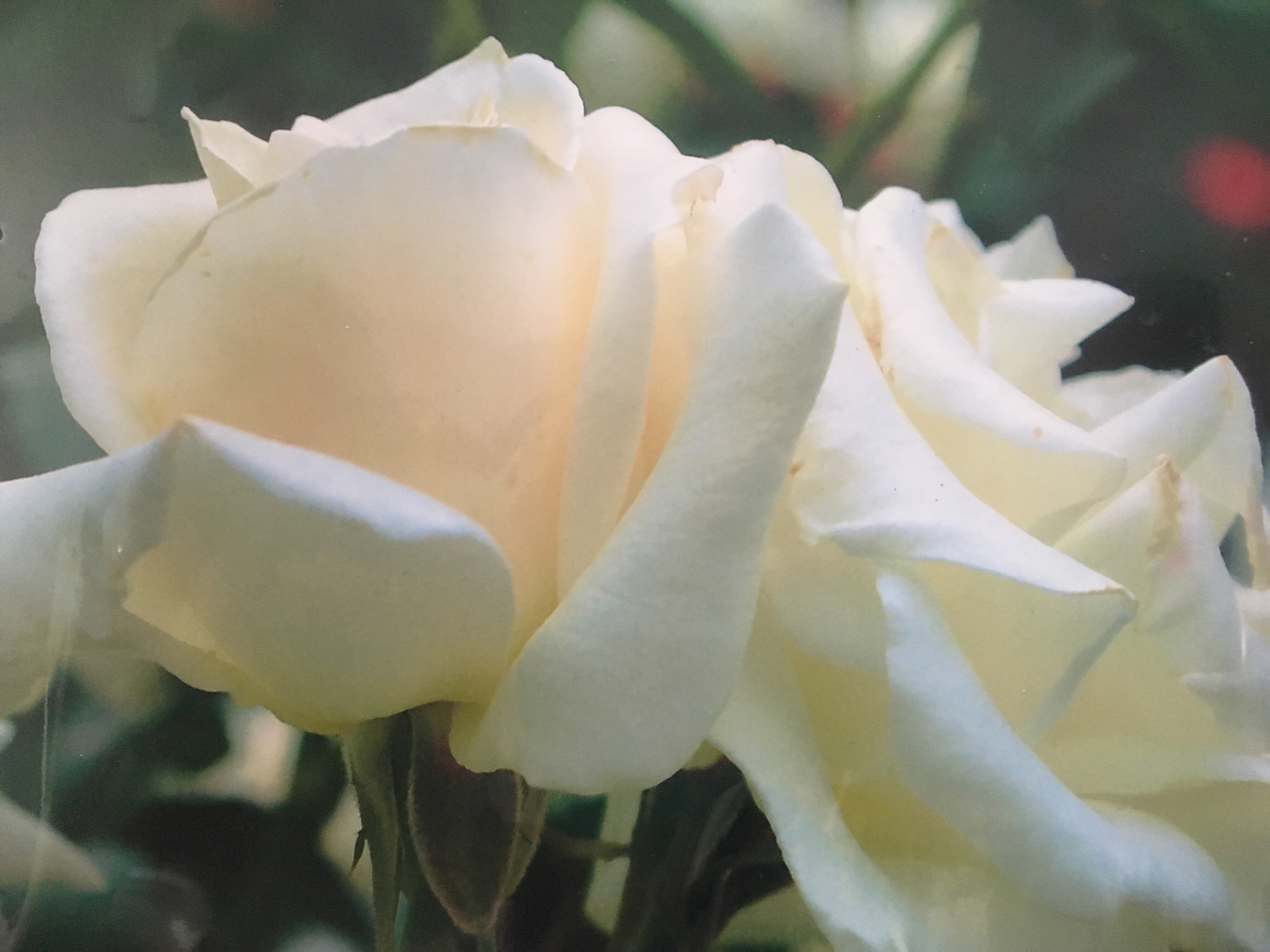 My mom's white rose