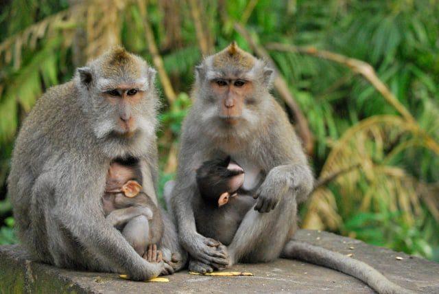 monkeys-bali-karryon