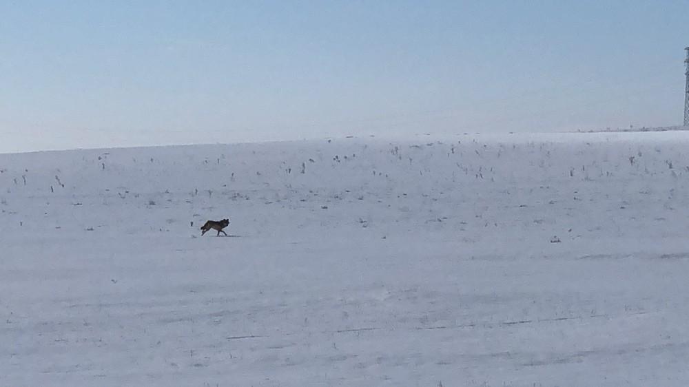 Kars'ta yaralı kurt Dikme köyü yoluna indi