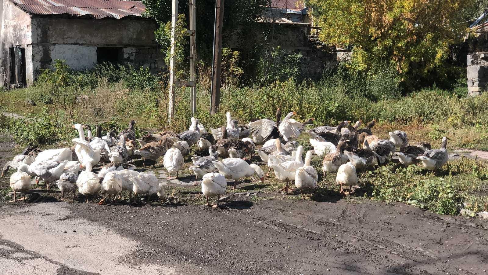 Kars'ta kazlar sofralara pahalı gelecek