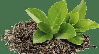 Τσάι πράσινο, λευκό, μαύρο, Oolong – Ενα φάρμακο στη διάθεσή μας
