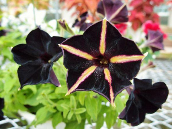 Фото черных цветов с названиями