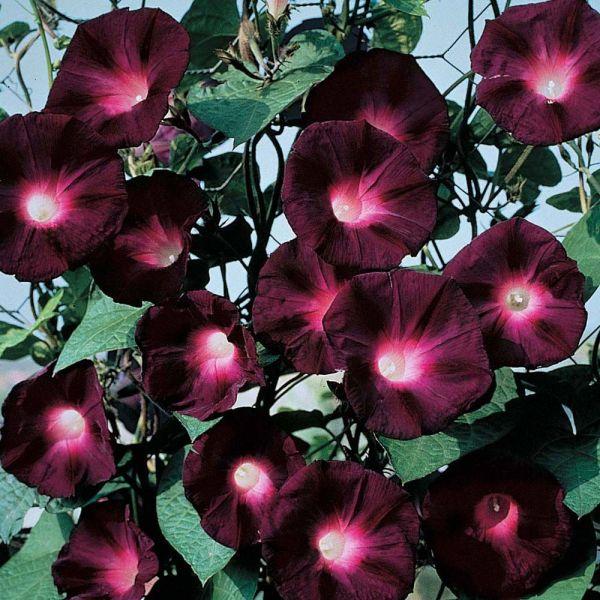 Вишневые и бордовые цветы с названиями