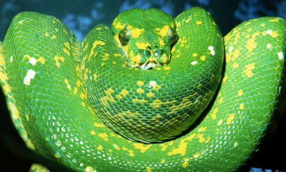 Змії великі та отруйні | Фото та картинки квітів, листівки ...