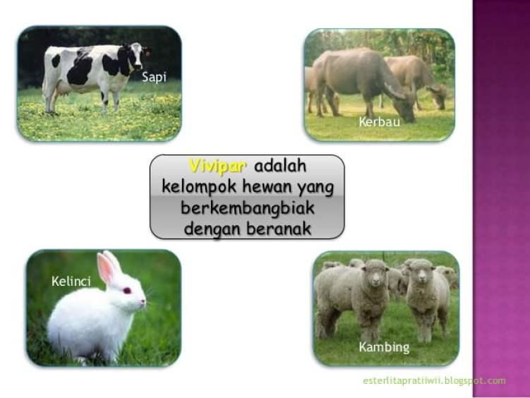 hewan vivipar