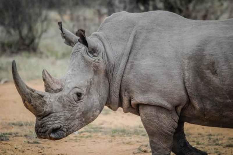 contoh hewan herbivora badak