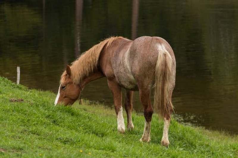 hewan herbivora, kuda