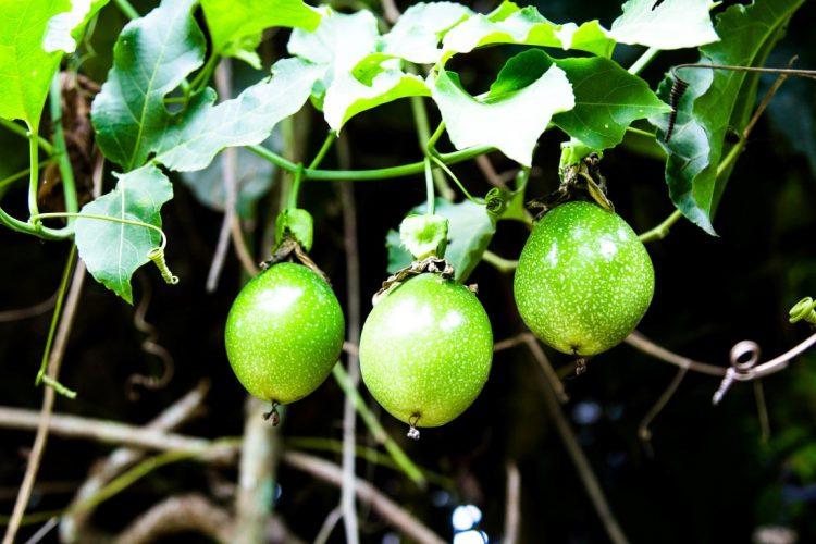 Maracuja-Exotische-Früchte-in-Thailand-18-Sorten-die-man-probieren-muss-38