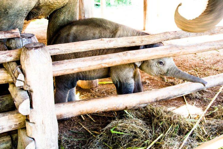 Thai-Elephant-Conservation-Center-Lampang-Elefantendorf-Thailand-46